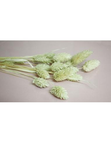 Phalaris seco verde pastel
