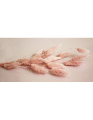 Lagurus seco rosa